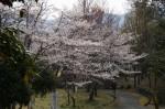 090403童子山の桜 001 (11)